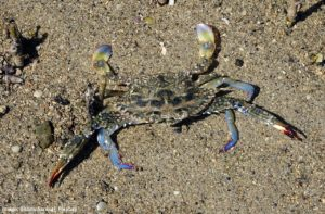 Blue Swimmer Crab on sand